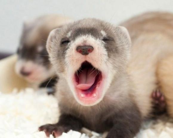l-Tiny-yawn.