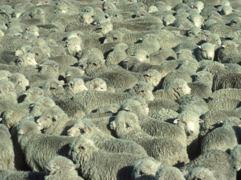 mitch-diamond-herd-of-sheep_i-G-26-2678-N4AUD00Z